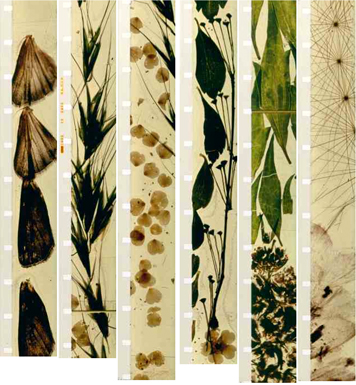 Strips of 16mm film from Mothlight by Stan Brakhage